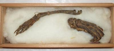 Рука и нога каппы. Мумифицированные останки, выставленные в резиденции Симадзу в префектуре Миядзаки на острове Кюсю