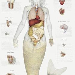 Анатомический рисунок ундины за авторством Вальмора Корреа