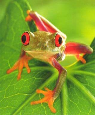 Древесная лягушка (Litoria Caerula), прообраз Yara-ma-yha-who