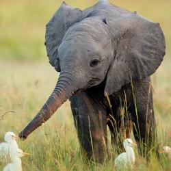 Откуда у слоненка длинный хобот
