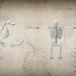 Скелет кинокефала или оборотня в частичной трансформации