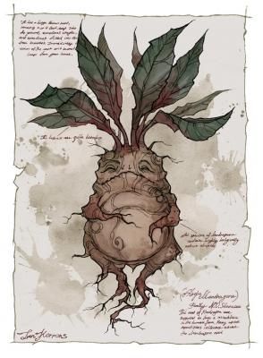 Мандрагора. Иллюстрация Ксении Свинцовой
