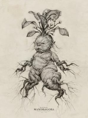 Отпрыск мандрагоры. Иллюстрация Одри Бенджаминсен