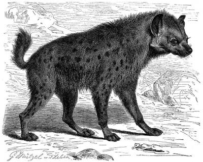 Пятнистая гиена. Иллюстрация из словаря Мейера (Meyers Konversations-Lexikon, 1897)