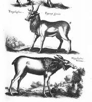 Трагелаф и гиппелаф. Иллюстрация из книги Яна Йонстона Ioannis Ionstoni Theatrum universale omnium animalium quadrupedum