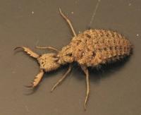 Личинка муравьиного льва, насекомого из отряда сетчатокрылых