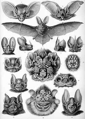 Летучие мыши. Иллюстрация из книги Ernst Haeckel's, Kunstformen der Natur