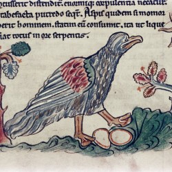 Страус (ассида). (Рукопись Бодлеянской библиотеки. MS. Bodley 602, fol. 025r)