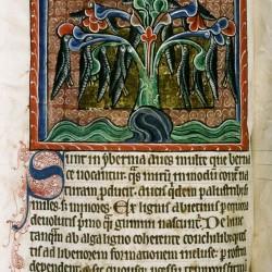 Казарки, свисающие с дерева. (Рукопись Бодлеянской библиотеки. MS. Bodley 764, fol. 058v)