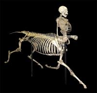 Скелет кентавра. Экспонат в Музее дикой природы в Тусоне (США)