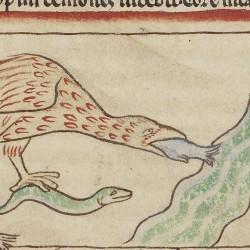 Ибис питается дохлой рыбой. Нортумберлендский бестиарий. Музей Гетти, Лос-Анджелес (MS. 100, fol.42v.)