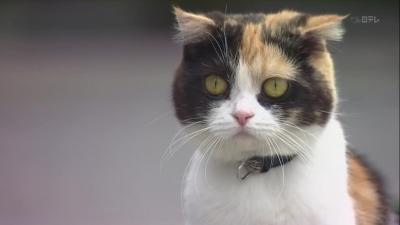 "Трехцветная кошка по имени Холмс. Кадр из сериала ""Mikeneko Holmes no Suiri"""