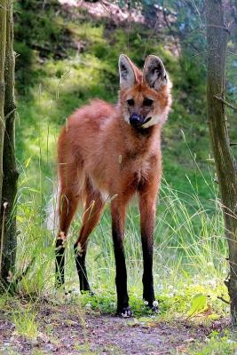 Гривистый волк или агуарачай (Chrysocyon brachyurus), единственный представитель рода Chrysocyon