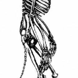 Рисунок скелета среднестатистического оборотня-волка