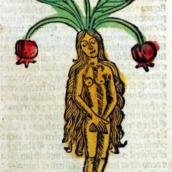 Мандрагора. Гравюра из Hortus Sanitalis (1491)