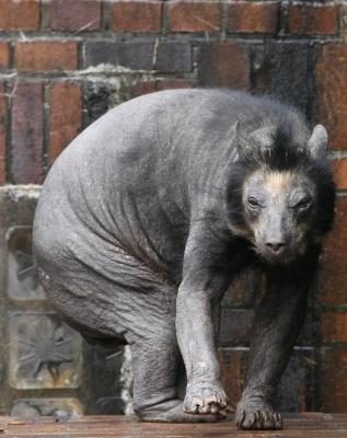 Облысевший из-за генетического заболевания медведь — возможный прототип каучпока