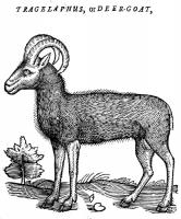 """Tragelaphus или Deer-Goat. Иллюстрация из книги Эдварда Топселла """"История четвероногих животных"""""""