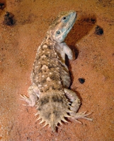 Ксенагама Тейлора (щитохвостая агама) — ящерица, встречающаяся в Сомали